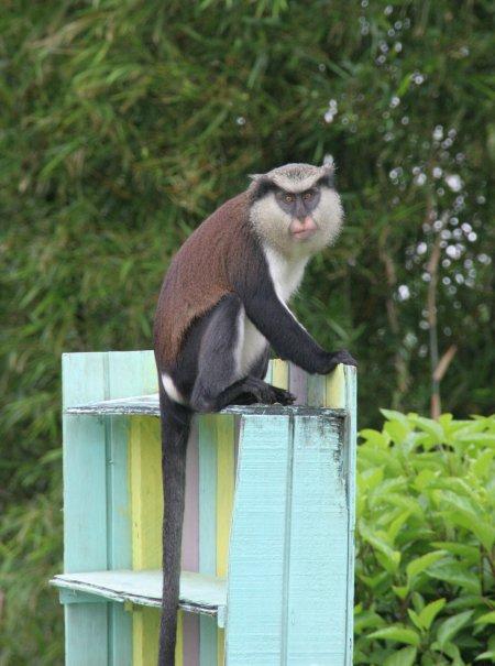 Grenada, Grand Etang järv, Mona ahv